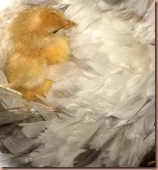 chicknhen