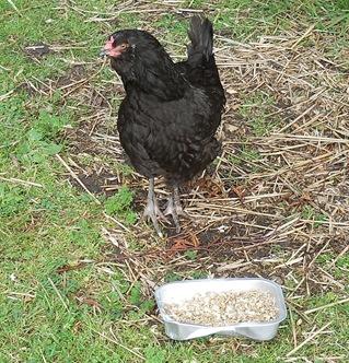 Chick 197
