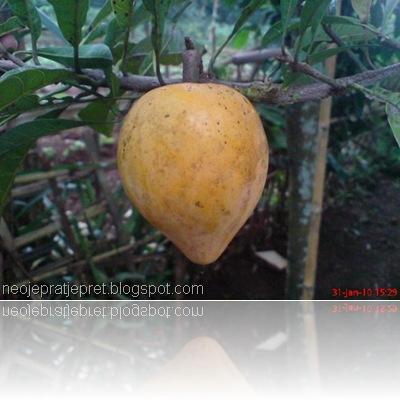 buah sawo garut 02