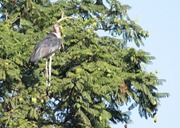 It's amazing to see these storks in the trees!