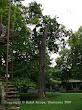 Klon pospolity (Acer platanoides)