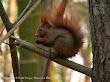 Wiewiórka pospolita (Sciurus vulgaris)