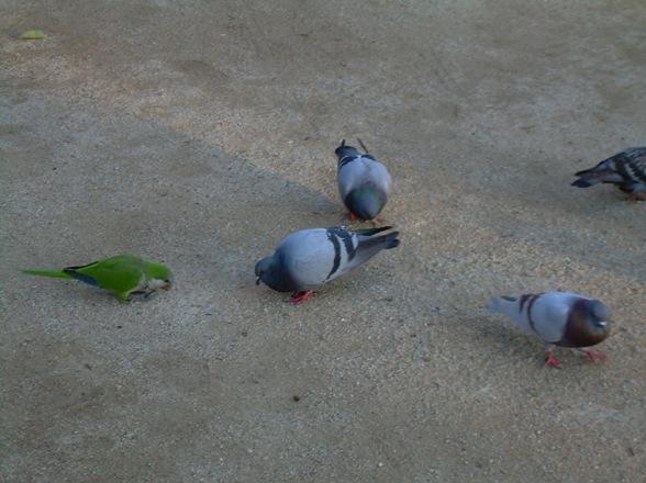 paloma rara en el Parque de la Ciudadela, Barcelona