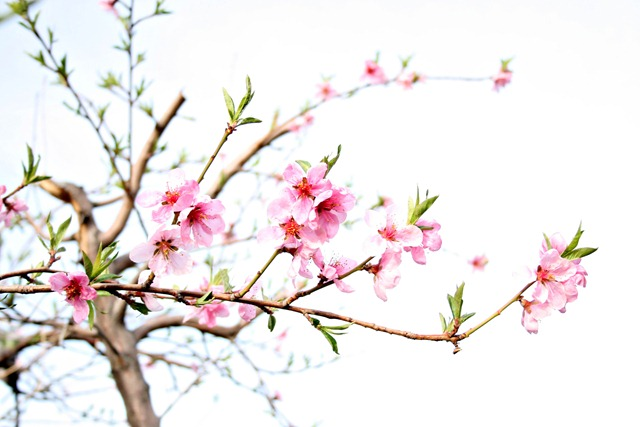 Peach Tree Web