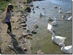 Feeding Ducks 28th August 2009 07