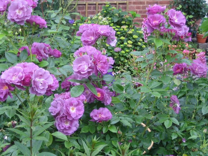 blaue morbide rosen 2009 seite 3 rund um die rose. Black Bedroom Furniture Sets. Home Design Ideas