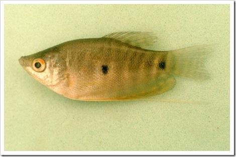 ikan sepat Trichogaster trichopterus 4