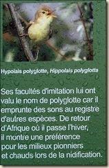 Hypolais Polyglotte