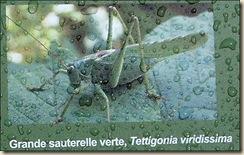 Grande Sauterelle Verte (2)