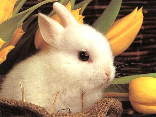 Breeding Rabbit - Learn How Rabbits Make More Rabbits