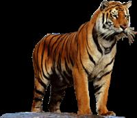 tigres misimagenesdivertidas.blogspot (44)