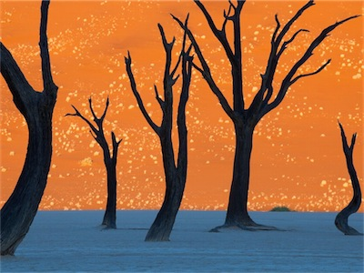 Camel thorn trees namibia 35259 990x742 1
