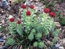 Roseroot (Sedum rosea)