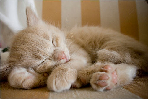 cute ginger kitten snoozing