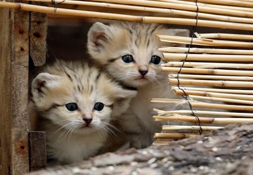 cute sand cat kittens wild feline pic