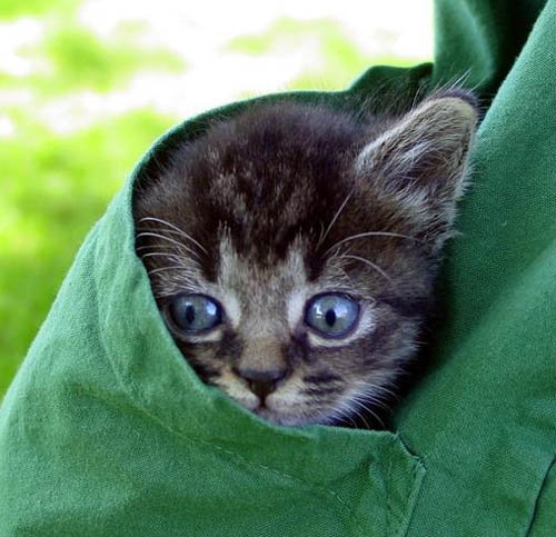 cute kitten wrapped in clothes cat pic