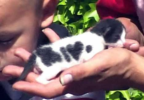 cute kitten i heart dot markings cat pic