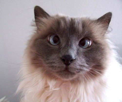 cute cross eyed siamese cat pic