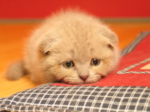 cute scottish fold kitten cat pic