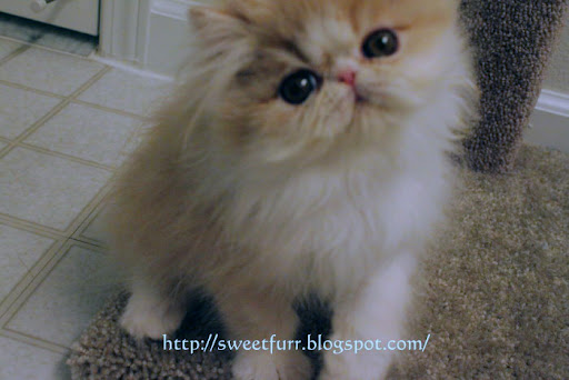 cute persian kitten cooper cat pic