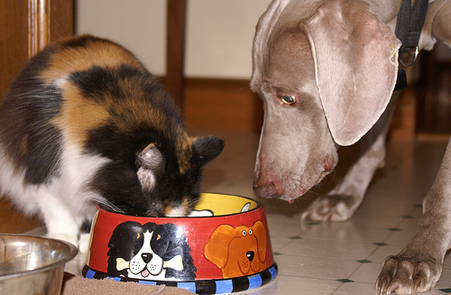 cute calico cat eating dog food pic