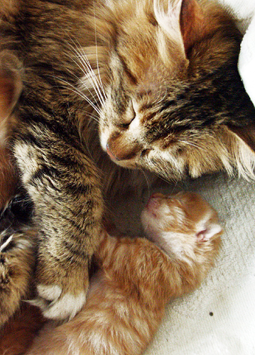 cute baby kitten and mother cat pic