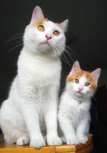 cute kitten father cat pic