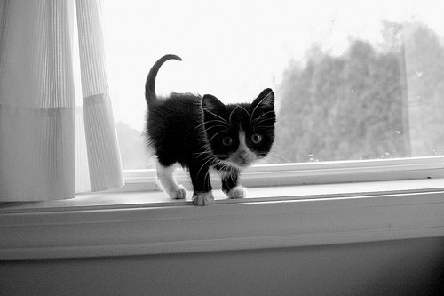 cute kitten window tuxedo black and white cat pic