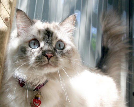 cute ragdoll kitten cat pic