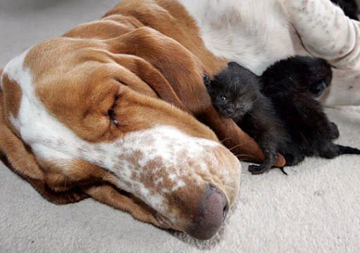 cute kitten basset hound dog adopts kittens pic