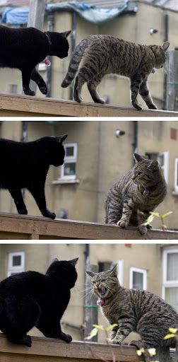 cat fight conflict pic