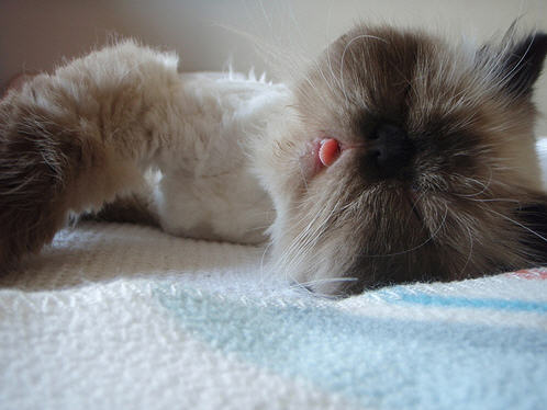 cute himalayan cat sticks out tongue funny silly pic