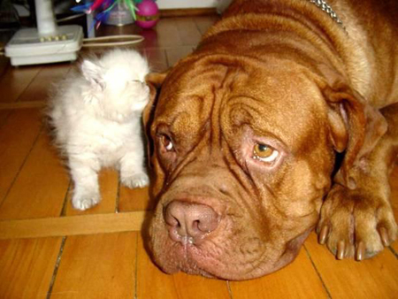 cute kitten kissing sniffing bulldog's ear pic