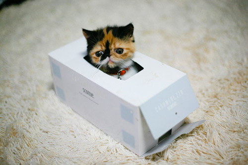 cute calico kitten in a tissue box