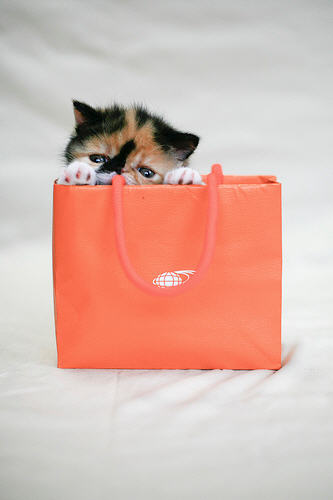 cute calico kitten hiding in bag