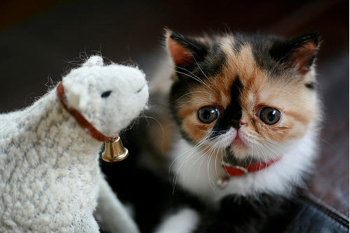 cute calico kitten and sheep toy