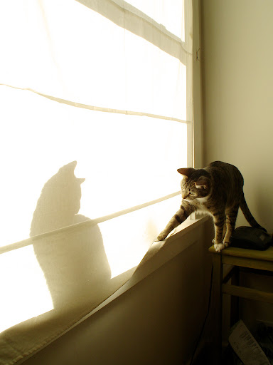 cute cat playing with cat shadow