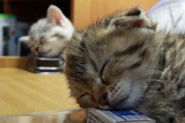 cute scottish fold kitten napping with another kitten