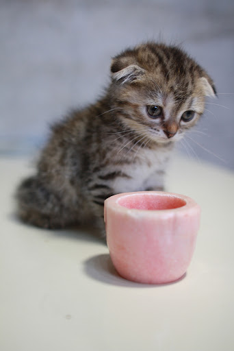 cute scottish fold and cup