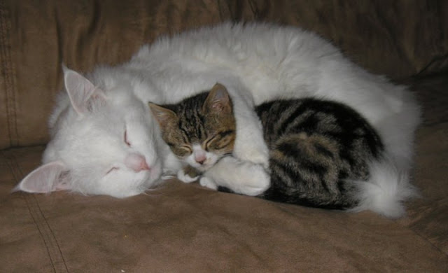 cute cat cuddling napping with a kitten pic