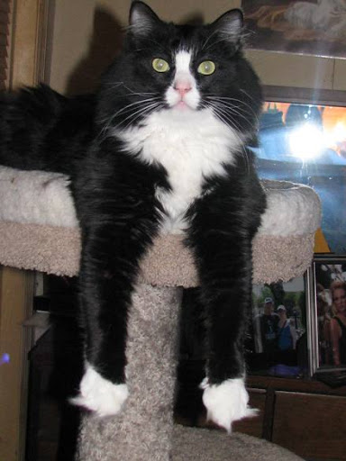 Cute tuxedo cat relaxing