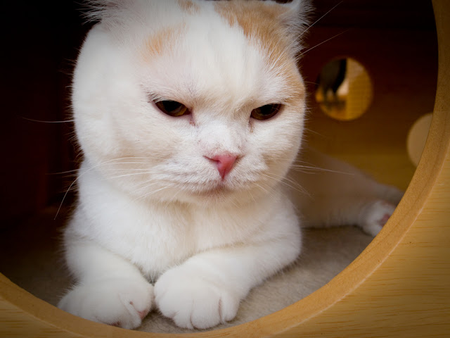 cute cat at japanese cat cafe in Nara japan