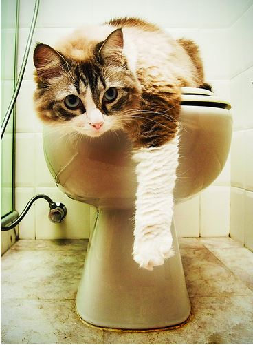 cute fluffy cat sitting on toilet
