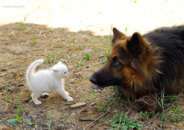 cute white kitten and german shepard dog