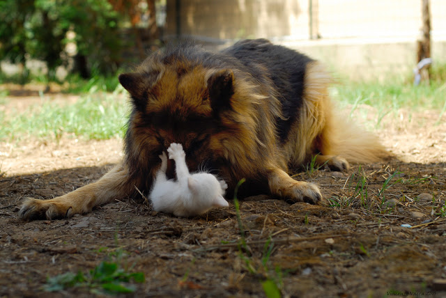 cute white kitten playing with german shepherd dog