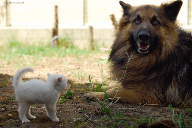 cute white kitten and german shepherd dog