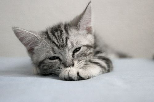 cute american shorthair kitten falling asleep getting sleepy