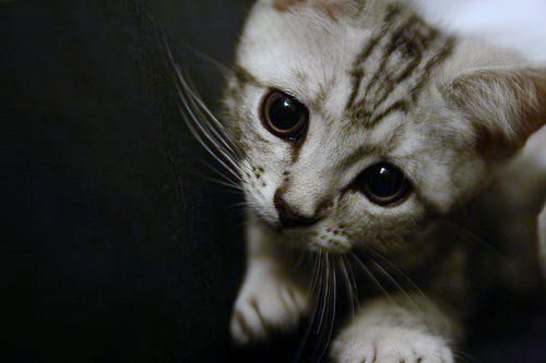 cute american shorthair kitten with big beautiful eyes