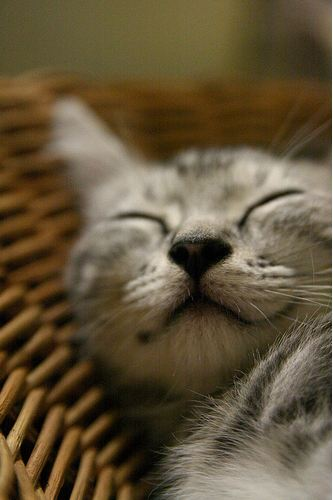 cute american shorthair kitten sleeping and smiling