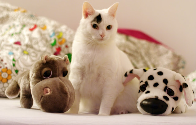 cute white cat with a black smudge and many toys